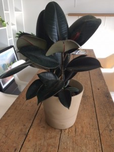 Rubber Plant - Normark